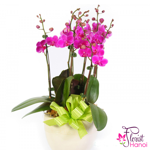 Purple moth orchid plants delivery Hanoi