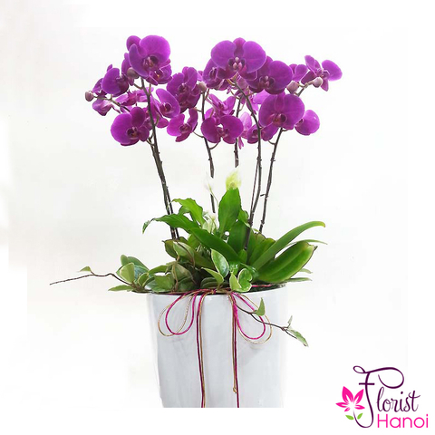 Send purple phalaenopsis orchid to Vietnam