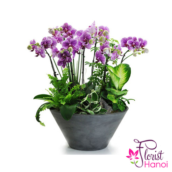 Orchid Plant delivered Hanoi city