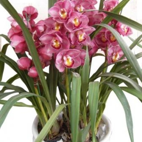 Send Cymbidium Flower To Hanoi