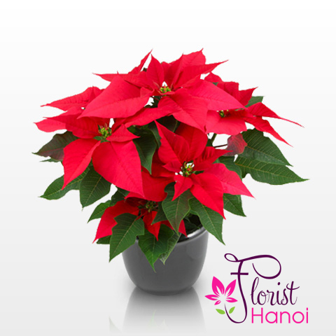 Christmas flower poinsettias